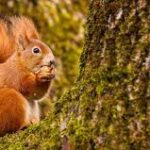 Red Squirrel Project - Community talk Sunday 13 June 4pm